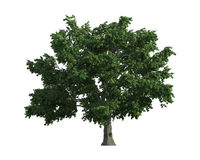 Tree isolated on a white background Stock Images