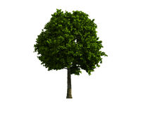 Tree isolated on a white background Royalty Free Stock Photography
