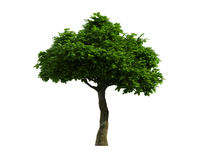 Tree isolated on a white background Stock Photo
