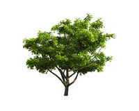 Tree isolated on a white background Stock Image