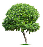 Tree on white Stock Photography