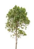 Tree isolated. On white background Stock Photos