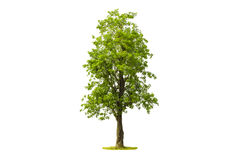 Tree isolated with white background Stock Photo