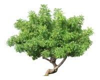 Tree. Isolated on white background Stock Image