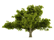 Tree isolated Stock Photography
