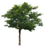 Tree isolated on white background Royalty Free Stock Photos