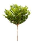 Tree isolated on white Royalty Free Stock Photo