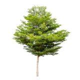 Tree isolated on white Royalty Free Stock Image