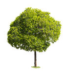 Tree isolated. On white background Royalty Free Stock Photography