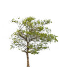 Tree isolated on white background. Stock Photography