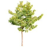 Tree. Isolated on white background Stock Photo
