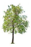 Tree isolated on a white. Background Stock Images