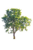 Tree isolated Royalty Free Stock Photo