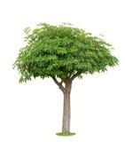 Tree isolated Royalty Free Stock Photos