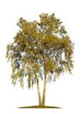 Tree isolated on white background Royalty Free Stock Photo