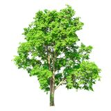 Tree isolated on a white background with clipping path. For web design graphic Royalty Free Stock Photo