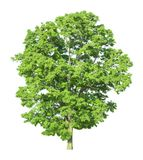 Tree isolated on a white background with clipping path. For web design graphic Stock Photography