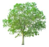 Tree isolated on a white background with clipping path. For web design graphic Royalty Free Stock Photography