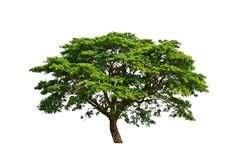Tree isolated on white background Royalty Free Stock Image
