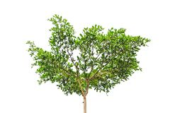 Tree isolated on white background. For nature concept royalty free stock image