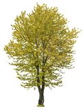 Cut out Tree. Yellow tree in fall isolated