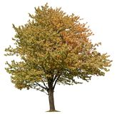 Cut out Tree. Colorful tree in fall isolated