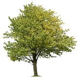 Cut out Tree. Green tree in summer isolated