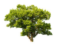Tree isolated on white background stock image