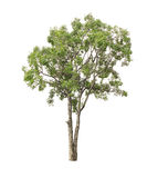 Tree isolated on white background Royalty Free Stock Photography