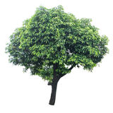 Tree isolated on white Royalty Free Stock Photos