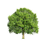 Tree isolated on white Royalty Free Stock Photo