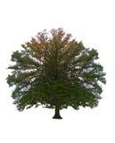 Tree isolated on white Stock Image