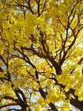 Tree and its beauty yellow fllowers royalty free stock photo