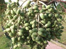 TREE AND ITS FRUITS Stock Images