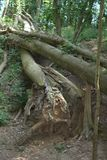 A tree that has been ripped out of the ground due to storm damage and other trees have fallen on it. A tree with its trunk ripped in two from storm damage, and Stock Photography