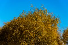 Tree with its wonderful autumn colors. Tree with its wonderful golden colors in the autumn season Stock Images