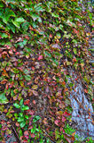 Tree with ivy. Bark vines green red petals fall changing Stock Photos