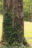 Tree of Ivy Royalty Free Stock Photography