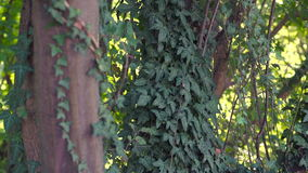 Tree and Ivy. Green ivy on the tree stock footage