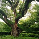 Tree Of Ivy Royalty Free Stock Photo