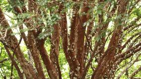 Tree Jabuticaba fruit blossom stock video footage
