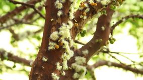 Tree Jabuticaba fruit blossom. Tree of Jabuticaba fruit in your blossom with green leaves stock video footage