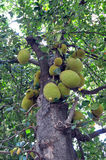 Tree of jackfruits Stock Photography