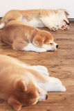 Tree Japanese akita-inu breed sleeping puppies Stock Photo