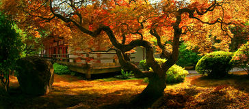 Tree, Japanese Garden. A tree in a Japanese garden in Fall Royalty Free Stock Photos