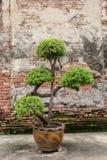 Tree in jardiniere Stock Photography
