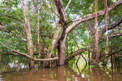 Tree in the Jungle Royalty Free Stock Photography