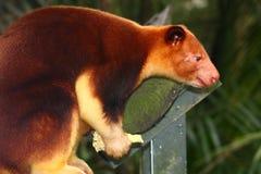 Tree Kangaroo stock photos