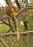 Tree Kangaroo Royalty Free Stock Images