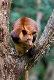 Tree Kangaroo. A Tree Kangaroo native to Australia and New Guinea sitting in a tree branch Stock Image